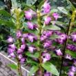 Dendrobium cultivars