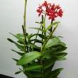 Epidendrum rood (Orchidea)