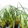 Maxillaria Malibu Orchidea