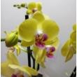 Phalaenopsis Floriclone Limelight