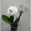 Phalaenopsis singolo dupla