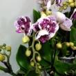 Phalaenopsis Little Kolibri
