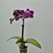 Phalaenopsis mini lila