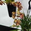 Cymbidium téglavörös (csüngő) 5 virágszálas jelenleg levirágzott