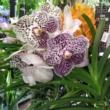 Vanda orchidea fehér alapon lila pöttyös