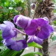 Vanda orchidea lila