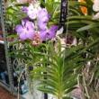 Vanda orchidea kék-lila