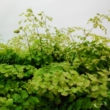Adiantum microphyllum