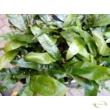 Aglaomorpha coronans Snake leaf