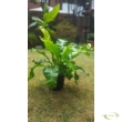 Asplenium nidus/ Fészekpáfrány