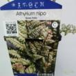 Athyrium nipponicum Silver Falls