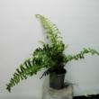 Athyrium filix-femina 'Vernoniae Cristatum'