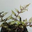Athyrium niponnicum Metallicum