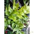 Cyrtomium falcatum / Sarlós babérpáfrány