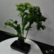 Microsorum punctatum Green Flame (Lávakőben)