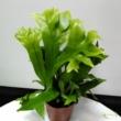 Microsorum punctatum Green Flame