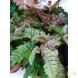 Pteris tricolor / szárnyaspáfrány