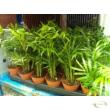 Chamaedorea elegans / Mexikói bambuszpálma