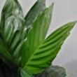 Chamaedorea metallica