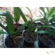 Trachycarpus fortunei / Kínai kenderpálma