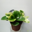 Peperomia obtusifolia Green Gold