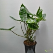 Philodendron Burle Max