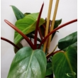 Philodendron Emerald green