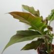 Philodendron narrow autumn