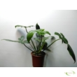 Philodendron Camouflage