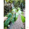 Philodendron Florida