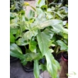Philodendron Golden Dragon