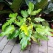 Philodendron Golden Xanadu