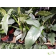 Philodendron Hastatum Silver Sword