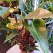 Philodendron mandaianum