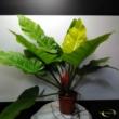 Philodendron melinoni ghost
