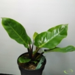 Philodendron Melinonii