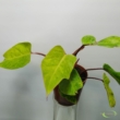 Philodendron Painted Lady