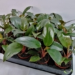 Philodendron Red Baron