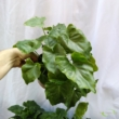 Philodendron selloum Hope