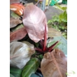 Philodendron Sherry Red