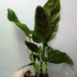 Philodendron Subhastatum