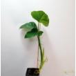 Philodendron subincision