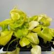 Philodendron Warscewiczii Aurea Flavum