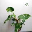 Philodendron white princess