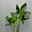 Philodendron Green Wonder