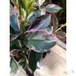Photinia × fraseri Louise (McLarlou)