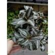 Pilea Silver Tree