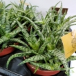 Aloe Spider