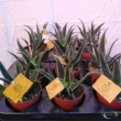 Aloe aculeata