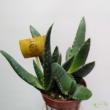 Aloe Vera paradisicum